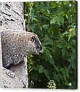 Groundhog Day Acrylic Print