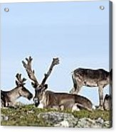 Group Of Caribou Resting On Alpine Acrylic Print