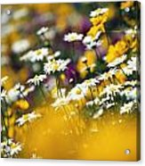 Group Of Daisies Acrylic Print