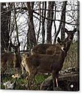 Group Of Deer Acrylic Print