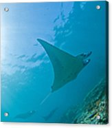 Group Of Manta Rays In Blue Water Acrylic Print