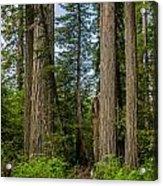 Group Of Redwoods Acrylic Print