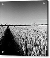 Growing Grain Acrylic Print