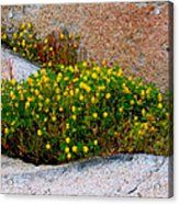 Growing In The Cracks Acrylic Print