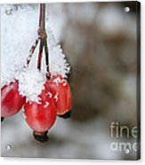 Guelder Rose In The Snow Acrylic Print