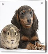 Guinea Pig And Blue-and-tan Dachshund Acrylic Print