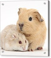 Guinea Pig And Hamster Acrylic Print
