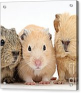 Guinea Pigs And Hamster Acrylic Print