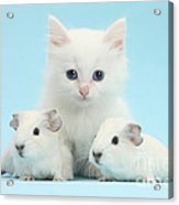 Guinea Pigs And Maine Coon-cross Kitten Acrylic Print