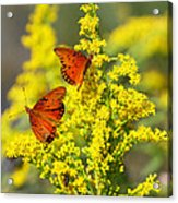 Gulf Fritilaries On Golden Rod Acrylic Print