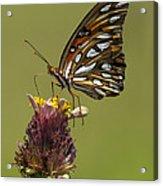 Gulf Fritillary Butterfly - Agraulis Vanillae Acrylic Print