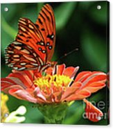 Gulf Fritillary On Zinnia Acrylic Print by Kelly Rader