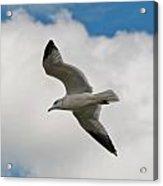 Gull 2400 Acrylic Print