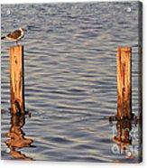 Gull At Sunset Acrylic Print