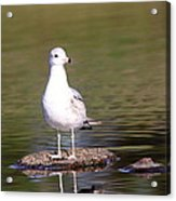 Gull - Don't Get Wet Feet Acrylic Print