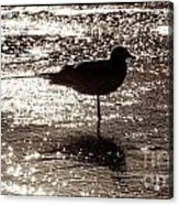 Gull In Silver Tidal Pool Acrylic Print