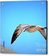 Gull On The Wing Acrylic Print