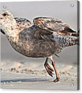 Gull Taking Off Acrylic Print