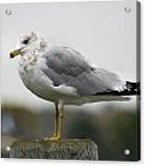 Gullwatch Acrylic Print