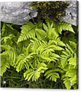 Gymnocarpium Robertianum Acrylic Print