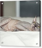 Hairless Sphinx Cat Acrylic Print