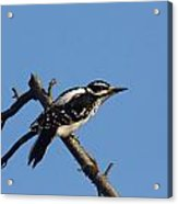 Hairy Woodpecker Acrylic Print