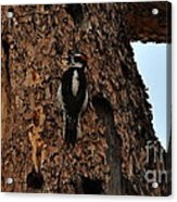 Hairy Woodpecker On Pine Tree Acrylic Print