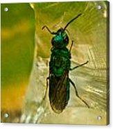 Halicid Bee 15 Acrylic Print