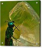 Halicid Bee 17 Acrylic Print