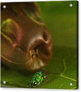 Halicid Bee 2 Acrylic Print