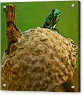 Halicid Bee 21 Acrylic Print
