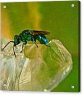 Halicid Bee 22 Acrylic Print
