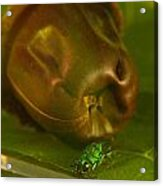 Halicid Bee 4 Acrylic Print