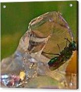 Halicid Bee 9 Acrylic Print