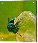Halicid Wasp 1 Acrylic Print