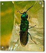 Halicid Wasp 3 Acrylic Print