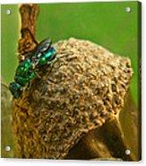 Halicid Wasp 4 Acrylic Print
