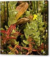 Hampshire Purslane (ludwigia Palustris) Acrylic Print by Bob Gibbons