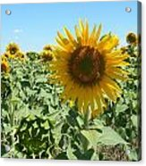 Happiness Is A Sunflower Acrylic Print