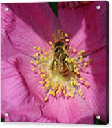 Happy As Can Bee Acrylic Print
