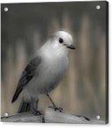 Happy Gray Jay Acrylic Print