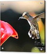 Happy Hummingbird Acrylic Print