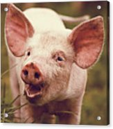 Happy Little Piglet Acrylic Print by Liesel Conrad
