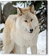 Happy Wolf Acrylic Print