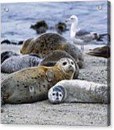 Harbor Seal And Pup Acrylic Print
