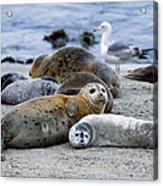 Harbor Seal Phoca Vitulina Mother Acrylic Print