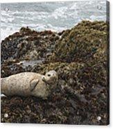 Harbor Seal  Point Lobos State Reserve Acrylic Print by Sebastian Kennerknecht