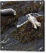 Harbor Seals Acrylic Print