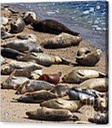 Harbor Seals Sunbathing On The Beach . 40d7553 Acrylic Print