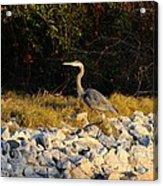 Hard Rock Heron Acrylic Print